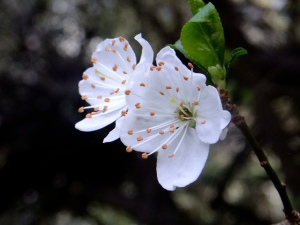 Plum Blossums