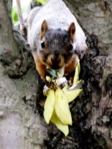squirrel steals sunflower ! dare you