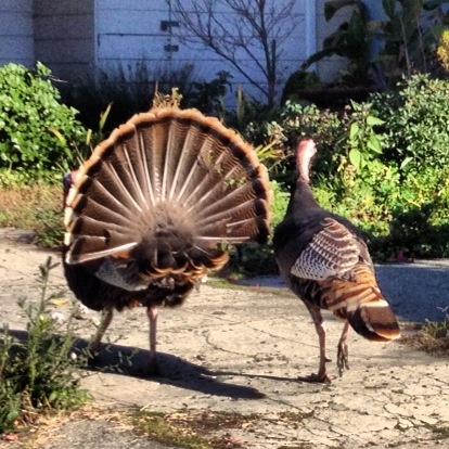 Handsome couple out for a Sunday Stroll. Doing the Turkey Trot  perhaps.