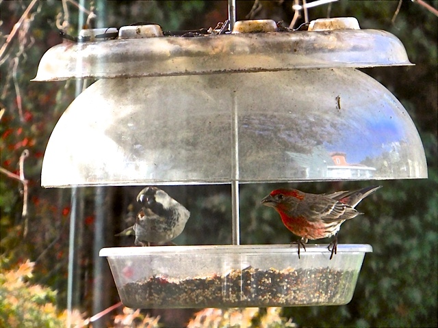 House Finches make themselves at home. You can see our home in the feeder cover.