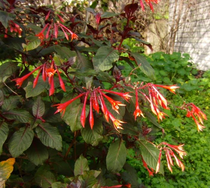 Fuchsia in the back garden