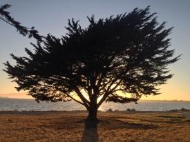 Solstice Sun Behind cyprus tree