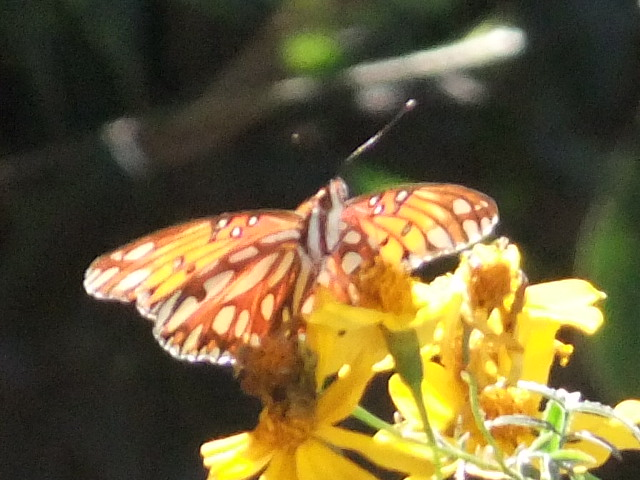 Lone Monarch on frost  wilted marigolds.