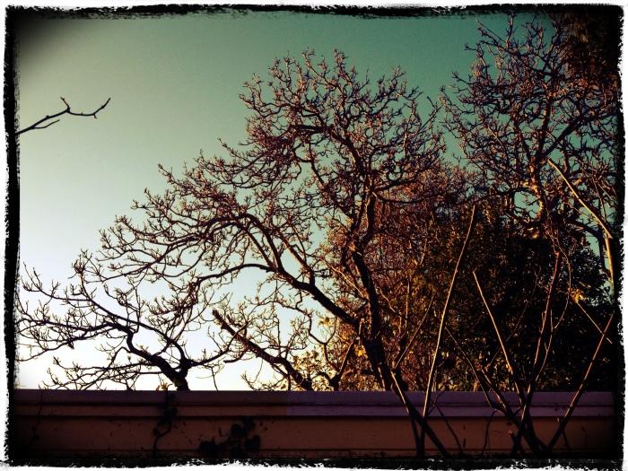 Sunrise through walnut tree