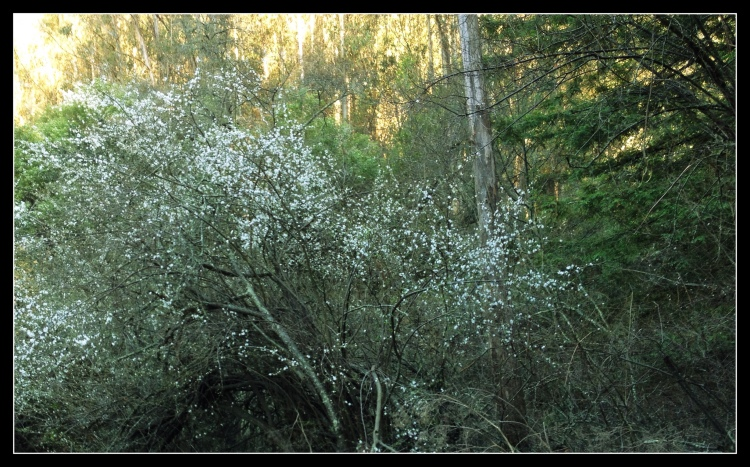2-Brookside Plum tree