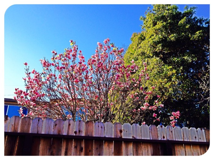 Magnolia over the fence