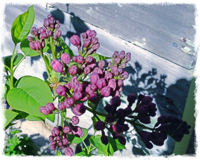 Lilacs getting ready to bloom