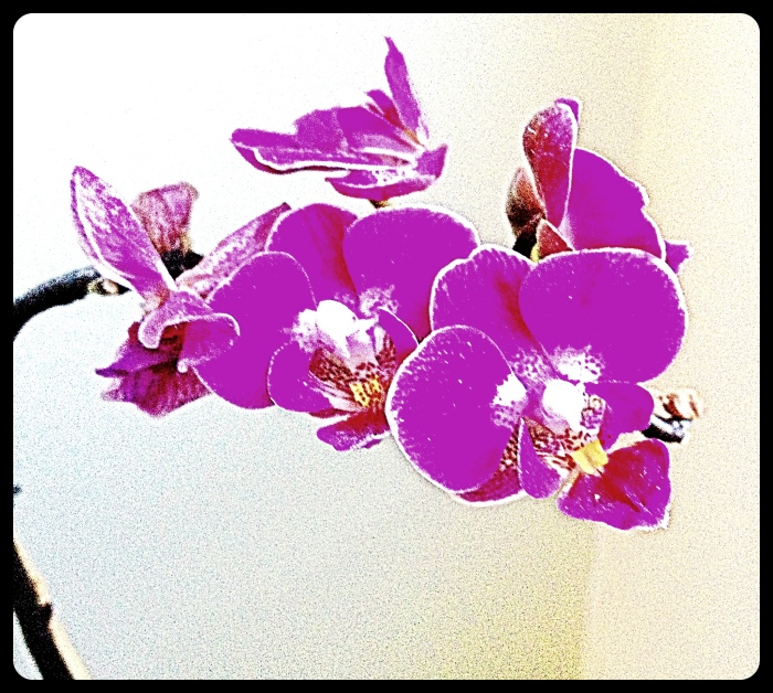 Orchid orchids