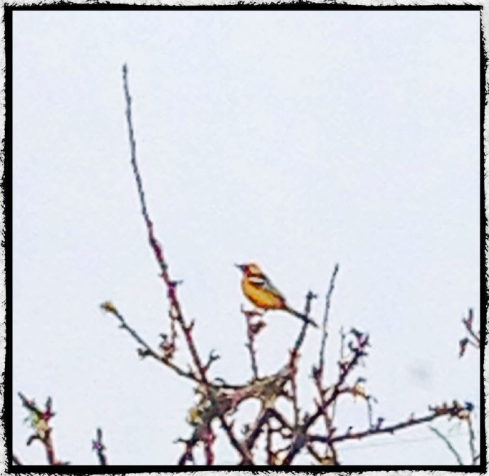 Yellow bird in the apple tree