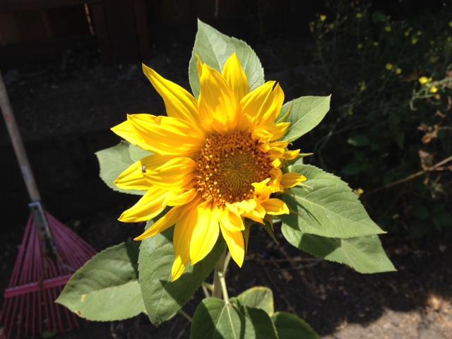1-Portrait of Spontaneous Sunflower