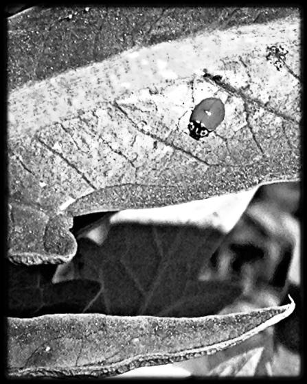 Ladybug on artichoke leaf