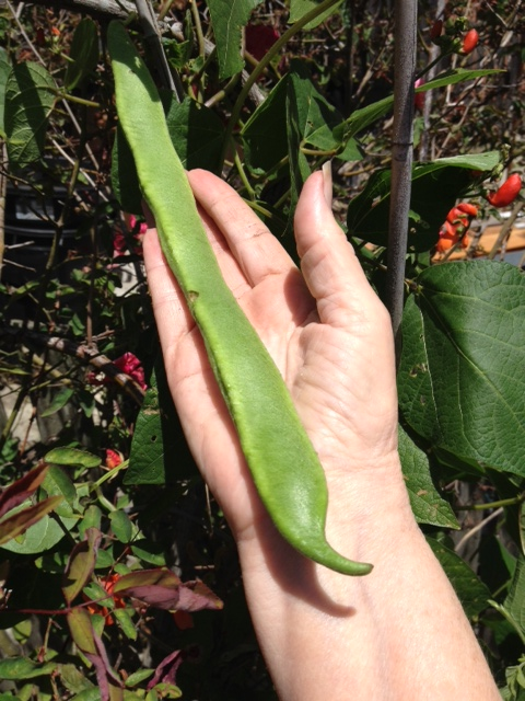 Very Fresh green bean . I know I posted it already  But ain't it grand?