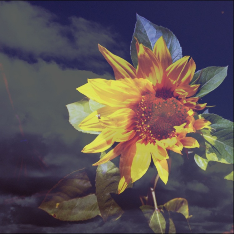 3-Sunflower memory of the Great Plaines. John Ford movie extra.