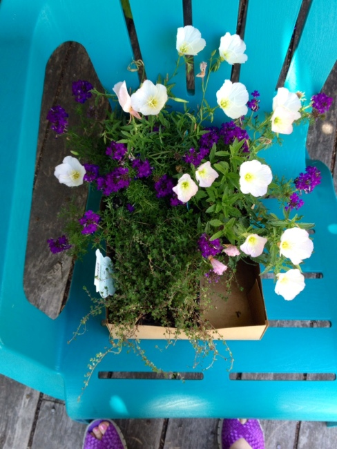 Wooly thyme, verbena and primroses wait to be planted in my garden as soon as I change out of my violet shoes