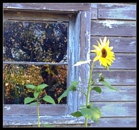 Reflected sunflower