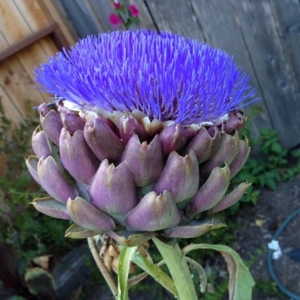 I always wanted a blooming artichoke