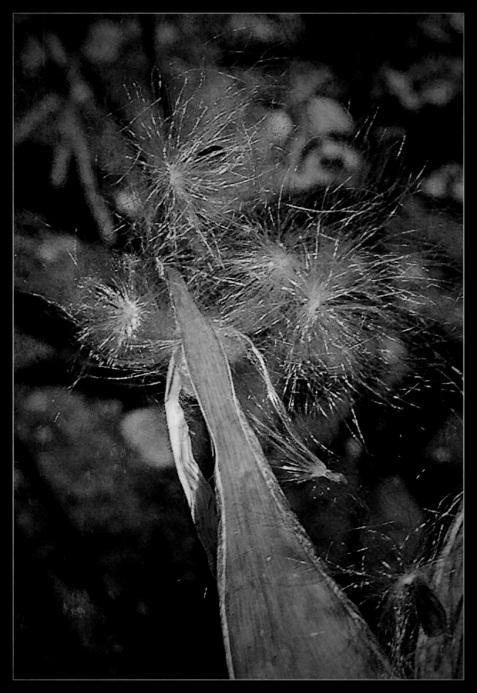 2-Milkweed