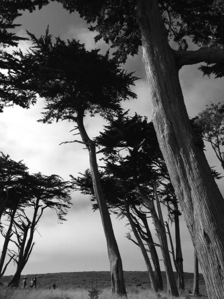 Cyprus Trees