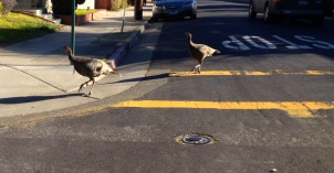 Abby Road Turkeys
