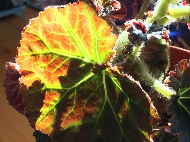 Fuzzy geranium close up
