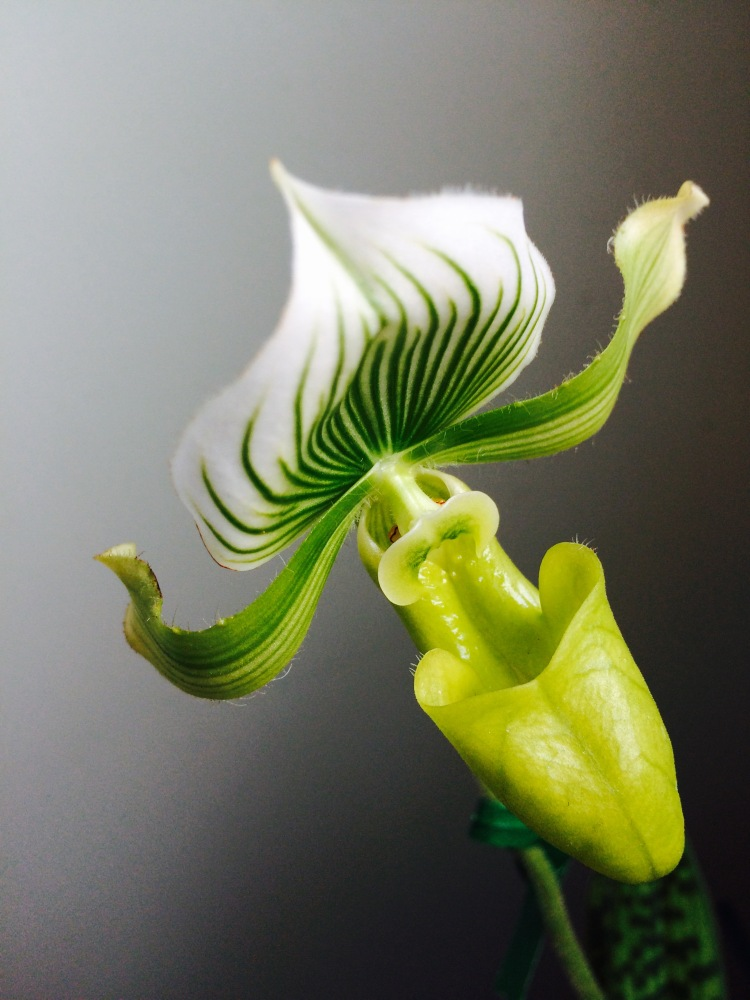 Green Orchid