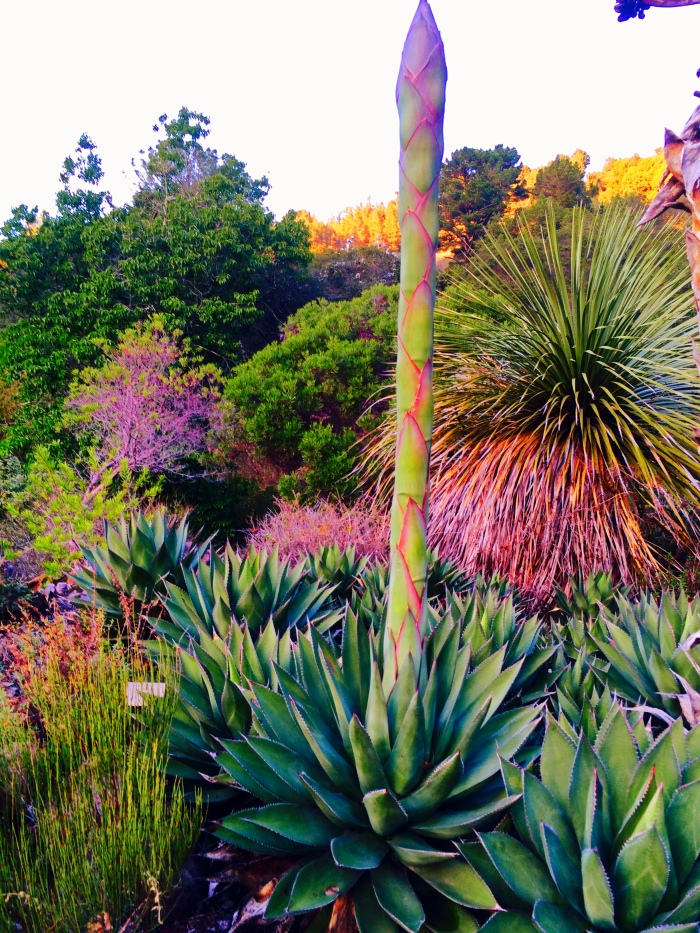 Agave Tilden Botanical Garden