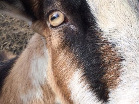 Who Knew Goats had lower eyelashes
