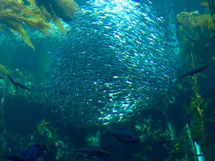Sardine Blur
