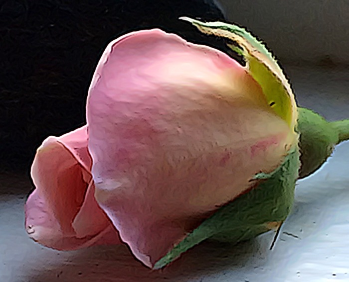 2-Cecile Brunner Rose