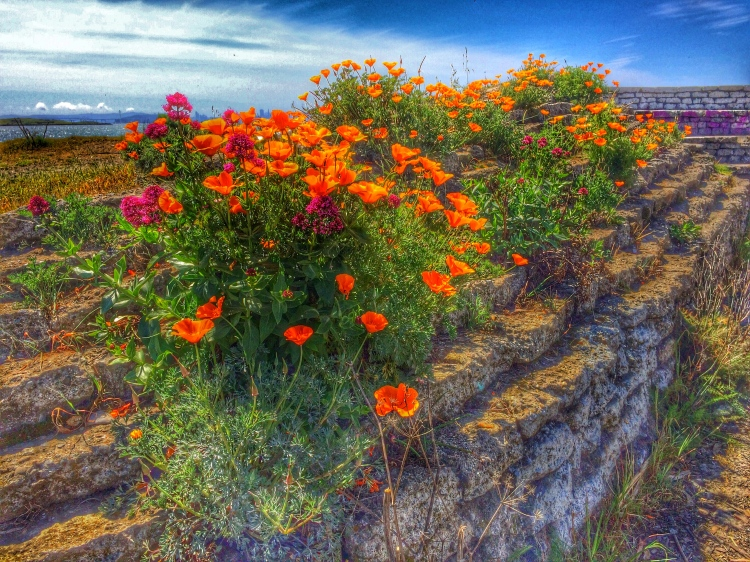 Poppies by the Bay