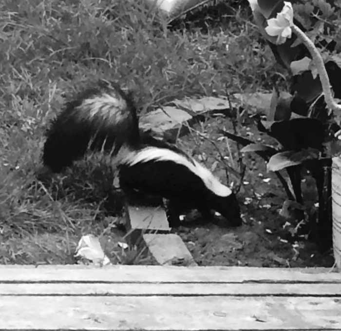 3-skunk just ate the cat's food