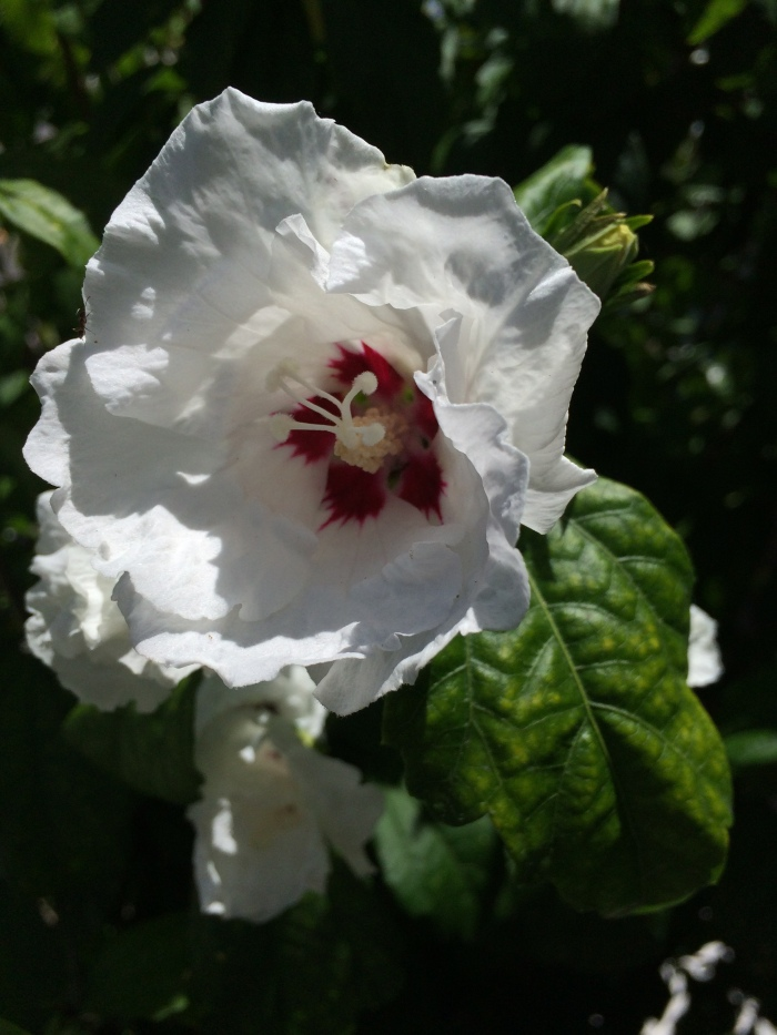 1-Hibiscus native camera