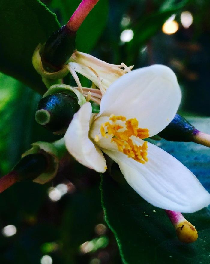 Meyers Lemon Blossom
