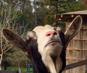 Nose Goat