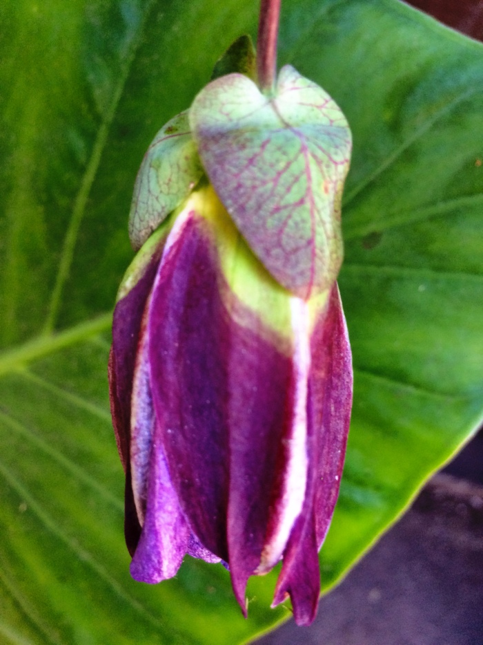 Passion Flower Bud