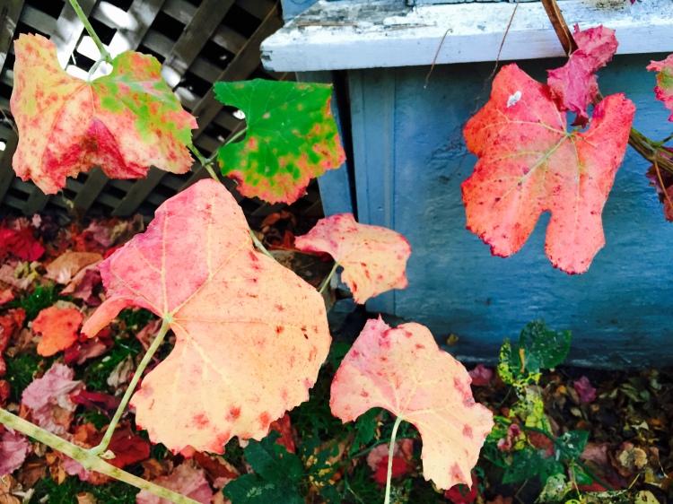 Roger's Red Grape Leaves