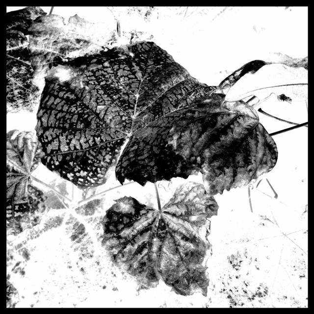 Negative of same leaf image from Photo studio App