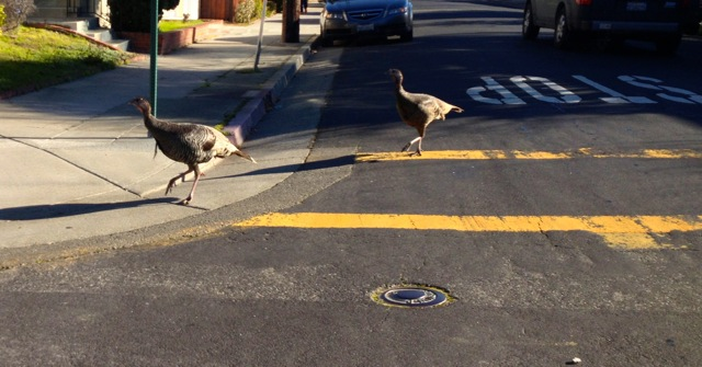 Pair of young turkeys in the cross walk