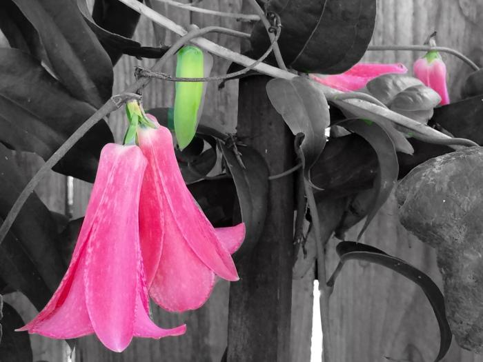 Lapigeria Bolivian Bell Flower