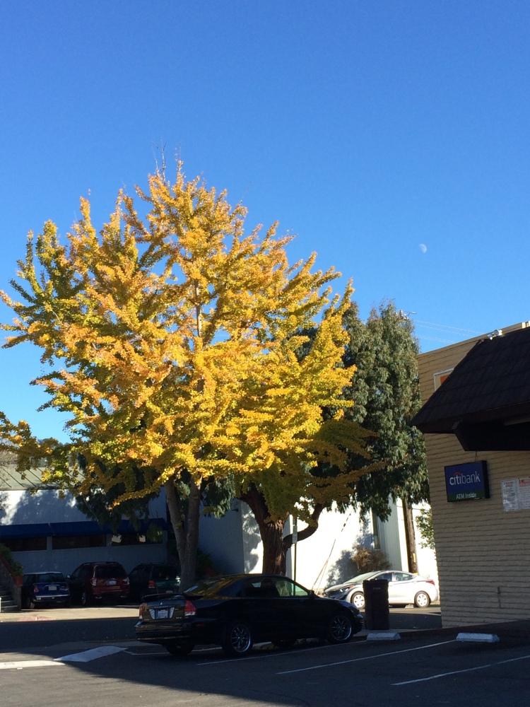 Brightest tree around in Nov.