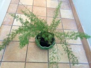 Asserigrass Fern