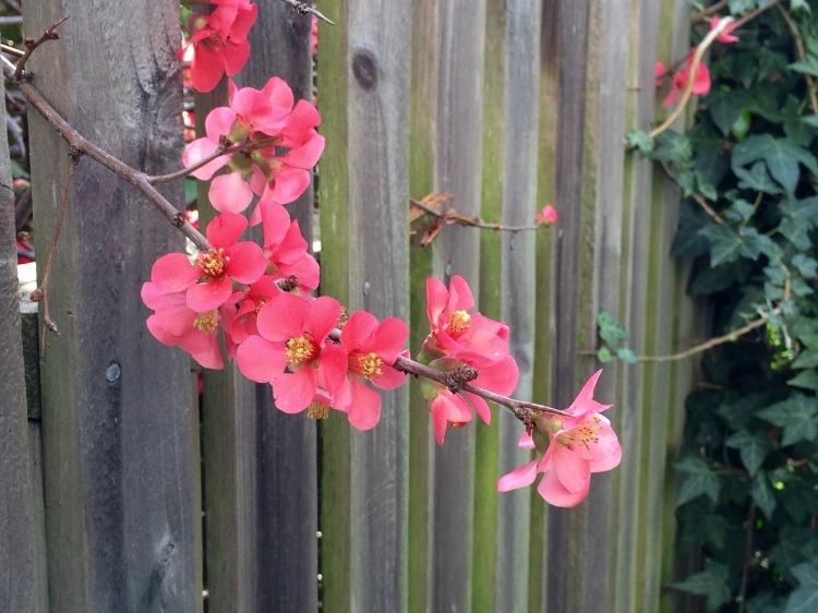 Quince agnate grey fence