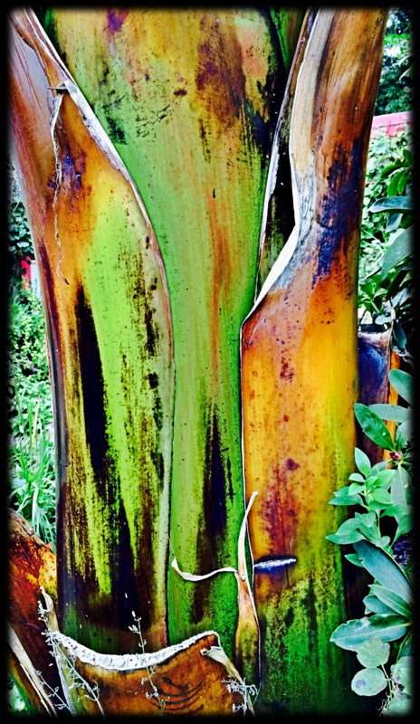Banana Tree Trunk