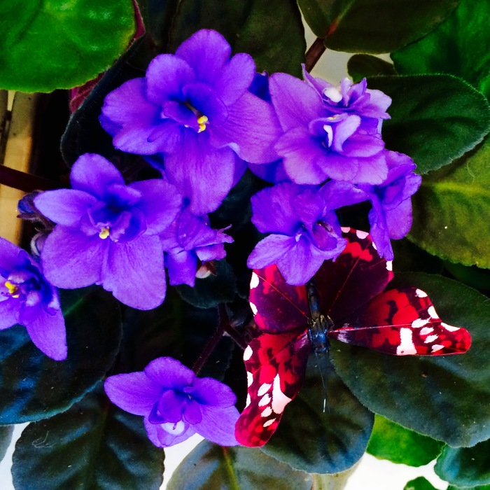 Royal Purple African Violets