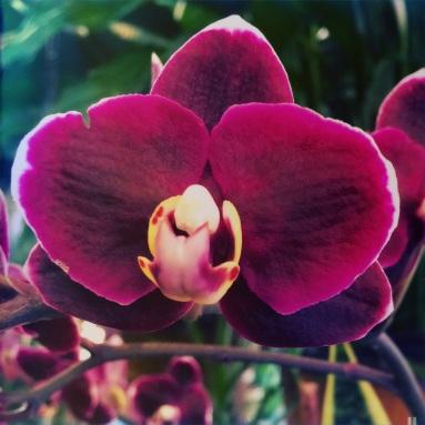 Plum Orchid