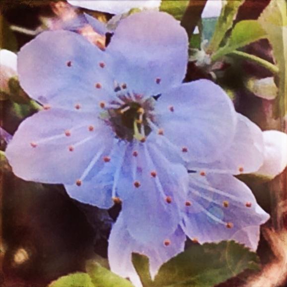 Plum Blossom Hipstamatic