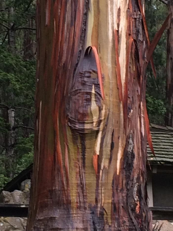 Wet Eucalyptus