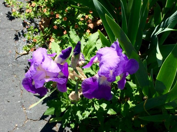 Iris closer