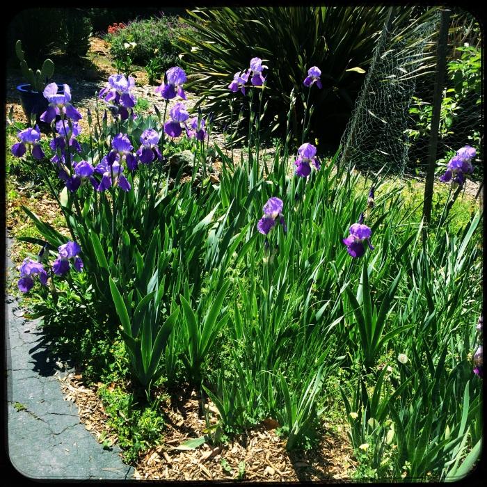 Stand pf Iris
