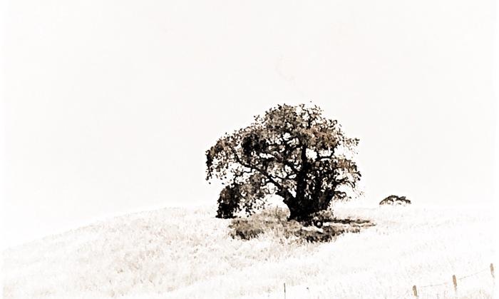 Single Oak